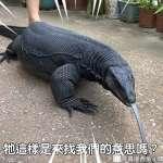 真實哥吉拉霸氣現身!超壯觀黑澤巨蜥,兇悍外表藏少女心究極反差萌!【影音】