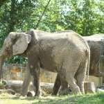 哀痛夥伴過世,波蘭動物園母象患心病 專家嘗試用「大麻萃取油」減低象群焦慮