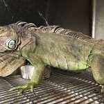 「像皮膚病一樣嚴重」 全台移除綠鬣蜥4年爆增到1萬5000隻