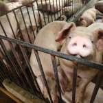 食品管理費人均僅31元!公衛促進會怒批:瘦肉精豬來台怎把關?