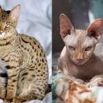 全球十大最名貴品種貓,第一名的身價竟跟房子差不多