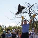 10月4日世界動物日野放大冠鷲  新北讓愛飛起來