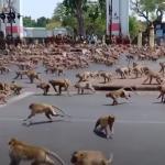 從祥瑞之兆變成惡鄰居!泰國獼猴搶地盤、打群架 居民要求當局掃蕩「潑猴幫派」