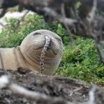 為何年輕海豹總愛把鰻魚塞在鼻孔裡?屁孩海豹的爆笑次文化,讓科學家全都滿頭問號