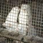疫情危機:水貂變異新冠病毒可傳染人類!丹麥下令撲殺1700萬隻