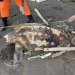 海洋悲歌又一樁!世界最大海龜革龜陳屍麥寮,疑似誤認塑膠袋為水母吃下肚死亡