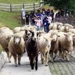 終止清境農場綿羊秀連署達標 退輔會:要不要禁止騎馬?