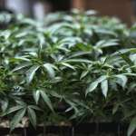 大麻解禁不是夢!美眾院通過大麻合法化 朝聯邦解禁邁出一步