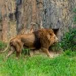 在日本,獅子竟比純種貓便宜、甚至免費贈送?揭奇特現象背後的悲慘真相