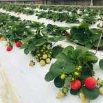 億光研發草莓專用轉色燈   轉紅比率增加30%