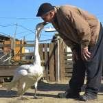 人鵝情深!土耳其退休郵差救援受傷天鵝,自此同居37載