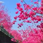阿里山花季開跑中 上山賞花民眾需注意管制時間