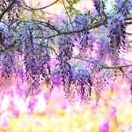 紫色浪漫來襲 嘉義紫藤花季力邀好手捕捉美景