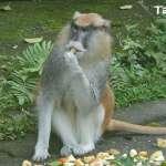 紅猴「男道」脫逃 北市動物園要大家別驚慌