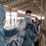 屏東縣牛結節疹疫苗開打  達到8成覆蓋率