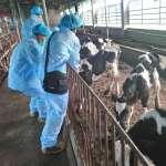 5天打完2萬頭牛!雲林防堵牛結節疹 幫牛打疫苗「用吹的」