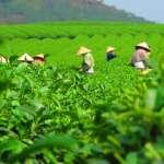 喝杯好茶可能成為奢侈享受!最新報告:暖化加劇將讓全球茶葉產量銳減