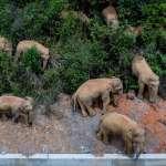 野生象群大遠征?北遷500公里,逼近雲南省會昆明 當地政府沿途緊急疏散人群