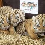 少了人類遊客更自在!全球動物園出現「疫情嬰兒潮」