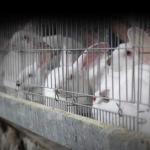 歐盟正式回應百萬人請願:2027全面禁止「籠養」,3億隻養殖動物可望受惠