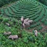 一場歷時17個月的奇幻冒險:數度闖入民居、半路還生下兩頭新生命,昆明的雲南亞洲象群回家了!