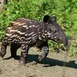 超萌「貘花豆」僅排第三名!台北動物園「明星動物」排行出爐,穩坐人氣王是牠