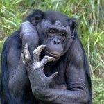 黑猩猩也是人!動保團體打官司