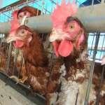 專家評析:推動友善雞蛋 還得廢除格子籠