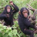 黑猩猩肢體語言 生物學家成功解譯