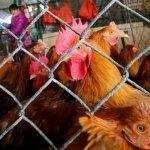 中國抗H7N9新方案 潛伏期縮至4天