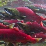 鮭魚迴游揭密 內建精密地磁導航