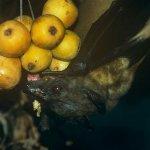 伊波拉病毒橫行 幾內亞禁吃蝙蝠