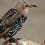 都是莎翁惹的禍?美洲原生鳥類遭殃