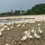 台灣證實爆發首例H5N8 恐重創養鵝產業