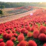 一整年都是花季!盤點日本12個月的花海美景,看看這個月開什麼花?
