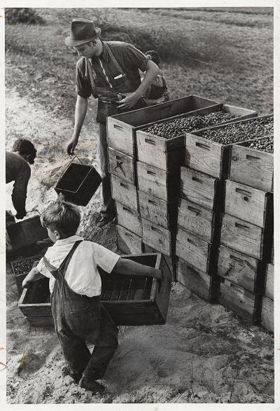 1939年,美國農場內的童工。(維基百科)