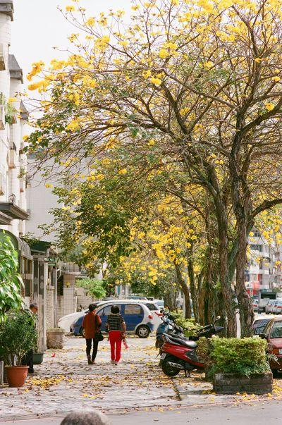 花蓮市,街上很容易遇到一種大樹,滿地紅葉不添蕭瑟感,美麗得不想要清掃,那是大葉欖仁。(圖/時報出版提供)