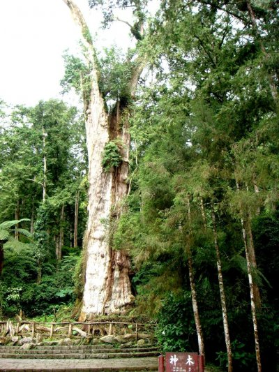 溪頭紅檜神木,是溪頭遊樂區最知名的地標,卻因連日大雨而倒塌。(取自南投縣政府)