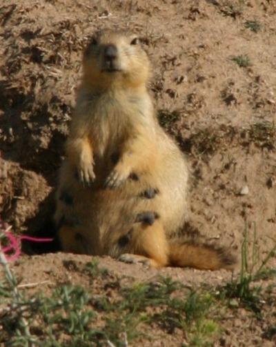 長尾旱獺是雪豹的主要獵物之一。(圖/Rouletabille@wiki/CCBY-SA3.0)