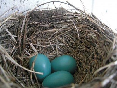 蒂芬尼藍的基底是知更鳥蛋殼的藍色。(圖/DDima@wikipedia/CC1.0)