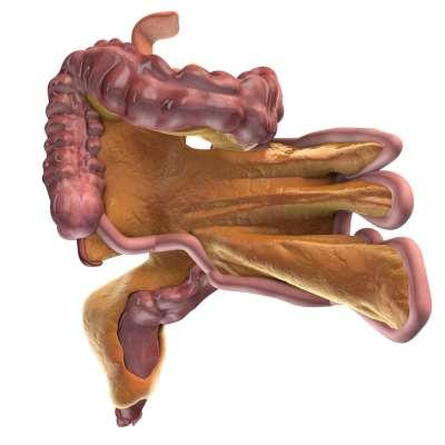 腸繫膜(黃色)連接小腸和大腸(粉紅色)。(Alan Place / University of Limerick)
