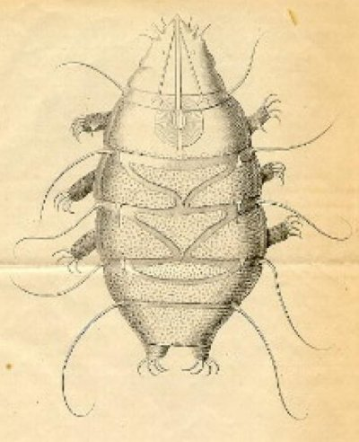 水熊蟲(Wikipedia/Public Domain)