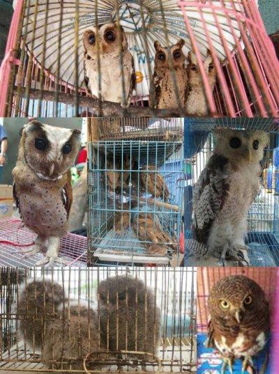 牛津大學學者拍下的印尼寵物市場,被販售的貓頭鷹狀況很差。(美聯社)