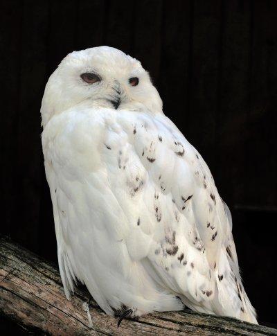《哈利波特》中的寵物「嘿美」是雪鴞。(圖/Michael Gäbler@wikipediaCCBYSA3.0)
