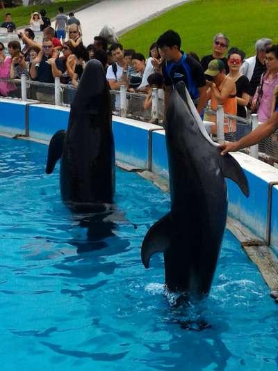 海豚被訓練表演才藝,看似歡樂,但其實是非常殘忍的。(圖/作者提供)