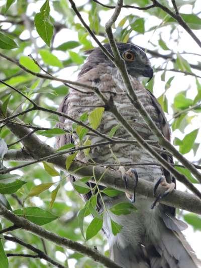 本次活動主角,被野放成功的鳳頭蒼鷹在樹上稍作停留即離去。(台北市政府提供)