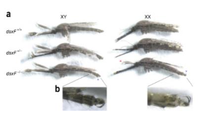該實驗指出,樣本蚊接受基因改造後,生殖器官與口器出現功能異常。(翻攝自原論文)