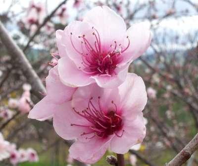 潘安被貶官到了河陽後,竟然種起了桃花?(圖/維基百科)