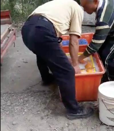 農民將採收柑橘浸泡於乳白色液體。(圖/食力foodNEXT)
