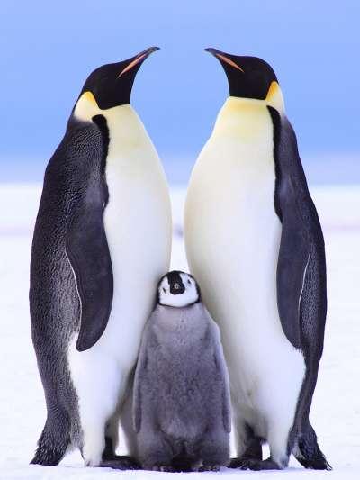 成年皇帝企鵝與雛鳥。(Anne Fröhlich@Flickr/CC BY-ND 2.0)
